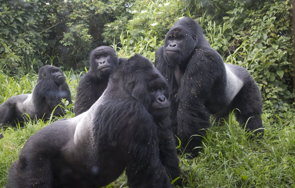 A Man Who Killed a Rare Gorilla in Uganda gets 11 Years Jail Time - Newslibre
