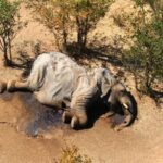 Bacteria in Water is the Cause of Elephant Deaths in Botswana