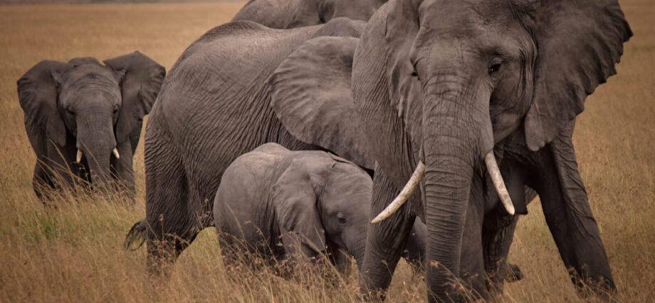 Zimbabwe Selling Rights Allowing For Hunting of Over 500 Elephants - Newslibre