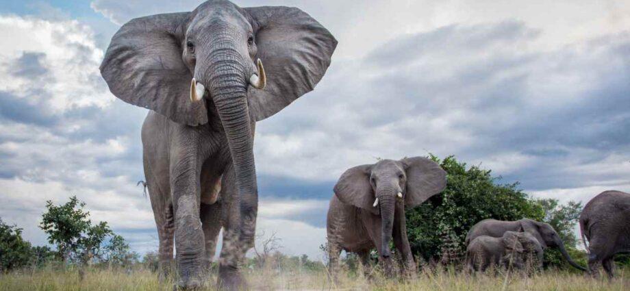 Why Is Zimbabwe Shooting Elephants? - Newslibre